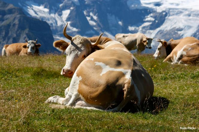 sleepy-cows
